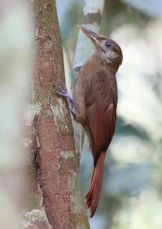 Arapaçu-pardo (Dendrocincla fuliginosa)