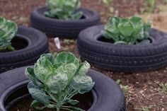 Tire gardens are popular, but are they safe? Before you plant your potatoes and carrots in them, be sure you know all the facts about tire gardens.