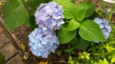 Hydrangea, Mom's house, Holliston MA (2013)  They survived and thrived during her summer in the hospital!