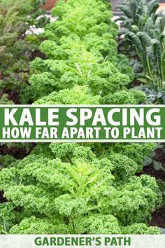 Kale Spacing: How Far Apart to Plant for the Best Harvest Wondering how much space to leave between Indoor Gardening Supplies, Container Gardening, Gardening Tips, Vegetable Gardening, Kale Plant, Square Foot Gardening, Grow Your Own Food, Edible Garden, Growing Vegetables