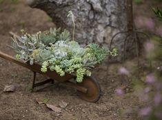 Mini wheelbarrow filled with sedum
