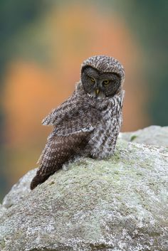 A juvenile Great Gray Owl perches upon a granite boulder.