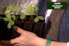 Grow bushy, flower-laden sweet peas with the help of Sarah Raven's expert advice on pinching out young plants and potting them on - clip from Gardeners' World.