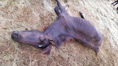 Claims of more than 30 wild horses dying horrific starvation deaths fall upon a South Dakota charity tasked with preservation.