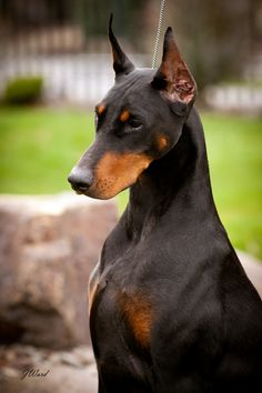 """Amanda"" - Multi Best In Show/BISS Ch Foxfire's Best To Come Along. Currently one of the top 20 Dobeys in the US"