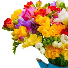 Buy Fresh freesia flowers by on PhotoDune. Fresh freesia flowers in blue pot close up isolated on white background Freesia Flowers, Bulb Flowers, Freesia Bouquet, Blue Bouquet, Tulips, Roses, Flowers For You, Winter Flowers, Carlsbad Flower Fields