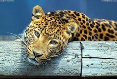 Leopardo Amazonia