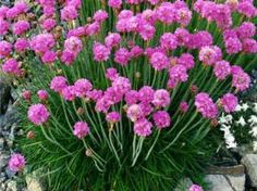 TRÁVNIČKA PŘÍMOŘSKÁ - Armeria maritima 'Splendens' Plants, Gardens, Backyard Farming, Plant, Planting, Planets