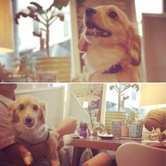 チワックスちゃんがお店に来たよー(^O^)可愛いっっ♪あまりの可愛さに他のお客様も可愛いを連呼(笑) #カフェ#ソエル#チワックス#ドックカフェ#神戸…