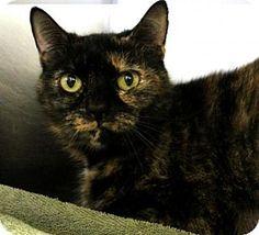 Westampton, NJ - Domestic Shorthair. Meet Tulip 34478838, a cat for adoption. http://www.adoptapet.com/pet/17517690-westampton-new-jersey-cat