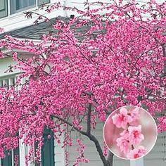 Pink Cascade Weeping Peach Tree