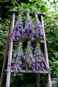 Drying English Lavender on an old ladder in the garden