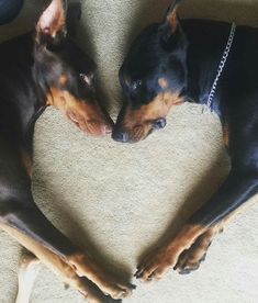 Doberman dogs …