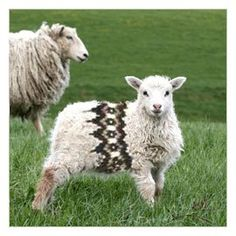 """Fair isle sheep. """"Why should you humans have all the fun?"""