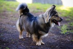 You can see her all the information like history, appearance, corgi puppy price, pictures, pros and cons of the Corgi German shepherd mix. Corgi German Shepherd, Shepherd Mix Dog, German Shepherds, Corgi Beagle Mix, Boxer Mix Puppies, Corgi Cross Breeds, Gerberian Shepsky, Fluffy Dogs, Best Dogs