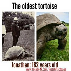 Just A Lil Fact Just A Quiet Fact Just A Lil Fact - Jonathan tortoise mind blowing 182 years old