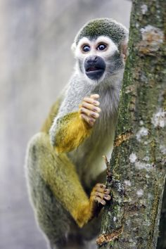 https://flic.kr/p/Hbc5oK | Squirrel monkey on the tree | I'm glad I could take this picture, because they are very fast!