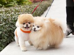 Boo with his friend pomeranian