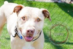 12 / 17    Petango.com – Meet Lowry, a 4 years 4 months Terrier, Pit Bull / Mix available for adoption in KANSAS CITY, MO Contact Information Address  4400 Raytown Road, KANSAS CITY, MO, 64129  Phone  (816) 513-9821  Website  http://www.kcpetproject.org  Email  info@kcpetproject.org