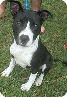 ~~eu date 07/18/14~~Sabra~ Breed: Pit Bull Terrier (mix breed) Age: Young adult Gender: Female  Size: Medium, Altered, HasShots, NoKids, Shelter Information: Carteret County Humane Society 853 Hibbs Rd  Newport, NC Shelter dog ID: 178208 Contacts: Phone: 2526262254  Name: Holly Richardson  email: cchsholly@outlook.com About Sabra: Here is the sweet little pitty girl named Sabra! She is 11 months old and just adorable.