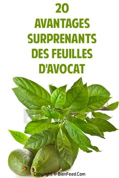 20 avantages surprenants des feuilles d'avocat Horticulture, Spinach, Herbalism, Detox, Plant Leaves, Vegetables, Healthy, Plants, Food