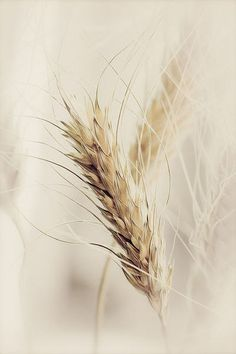 Cream  ~ Soft Beige / Eggshell / Ivory / Linen / Oatmeal / Pearl / Vanilla / Wheat / Sand