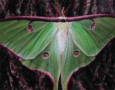 Luna moth - we found one of these (dead) last summer and Emma was entranced