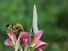 'Biene+und+Schmetterling'+von+Rainer+Clemens+Merk+bei+artflakes.com+als+Poster+oder+Kunstdruck+$16.63