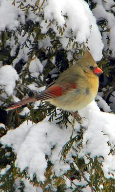Female Cardinal in Snowy Tree.