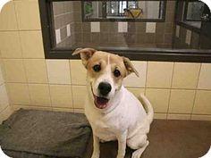 Denver, CO - Australian Shepherd/Labrador Retriever Mix. Meet VIRGINIA, a dog for adoption. http://www.adoptapet.com/pet/13686204-denver-colorado-australian-shepherd-mix