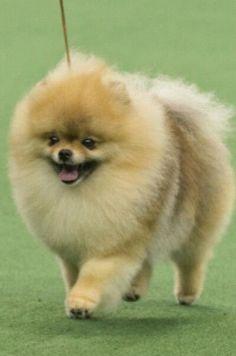 113 Best Dog Shows Images Dog Show Pomeranian Pomeranians
