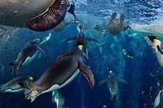 海を飛ぶコウテイペンギン | ナショナル ジオグラフィック(NATIONAL GEOGRAPHIC) 日本版公式サイト