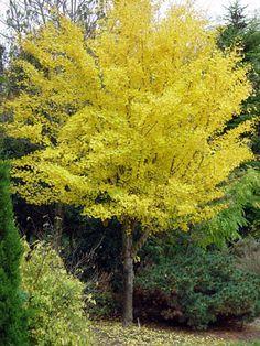 Ginkgo biloba 'Autumn Gold' maidenhair tree Zone: H: ft S: ft Deciduous Trees, Trees And Shrubs, Flowering Trees, Trees To Plant, Ginko Tree, Maidenhair Tree, Hummingbird Plants, Dwarf Trees, Deer Resistant Plants