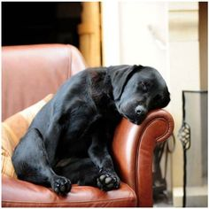 sleeping black labrador #dog