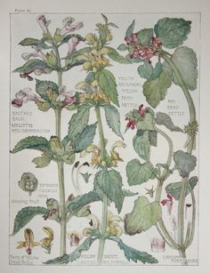 1910 Botanical Print by H. Isabel Adams: Dead-nettle Family, Bastard Balm, Red Dead-nettle, Yellow Archangel, Yellow Snout