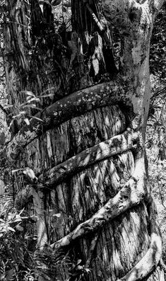 Big Cypress Bend Boardwalk, black and white version Imagined this in black and white when I saw these amazing trees. Nature View, Earn Money, Fig, Plant, Earning Money, Ficus, Plants, Trees