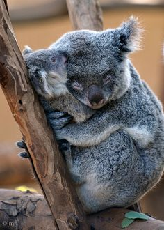 """Orana with her joey Miah. Miah was named by popular vote at the San Diego Zoo's 2010 Koalapalooza event. It means """"moon"""" in Aborigine."""