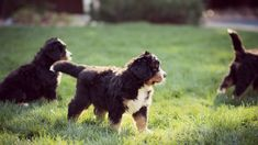 Relentless Ranch - Bernese Mountain Dog Puppies