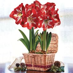 Duo Grand Trumpet® Striped Amaryllis Gift:  These merrily striped blooms really do evoke the spirit of the season! Each of the flowering stems sets up to 4 red and white blooms, creating a long-lasting, cheerfully festive display for home oroffice. This arrangement contains 2 bulbs, each of which will produce several blooms over the holiday season in a showy procession. -- This product is no longer available, however click the image to see this year's Amaryllis Bulb Gifts!