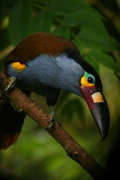 Plate-billed Mountain Toucan by Victoria Gandy on Flickr. Taken at the BellaVista Cloud forest reserve, Ecuador.