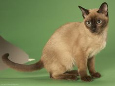 Tonkinese Cat, Kitten Images, Image Cat, Cat Wallpaper, Here Kitty Kitty, Funny Cat Pictures, Cat Breeds, I Love Cats, Cat Lady