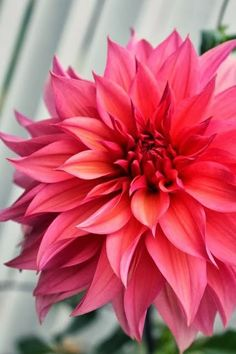 I'm crazy for dahlias! They come in so many colors, shapes and sizes...a very special flower. Dahlia Coral