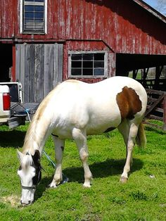 My beautiful horse,One Badger. Great grandson of peppy san badger. He's a Register brown and white overo paint horse.He belongs to the Foster's in bootheel missouri