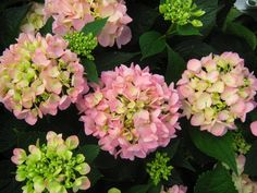 Hibiscus House: Grumpy Gardener's Tips For Hydrangeas