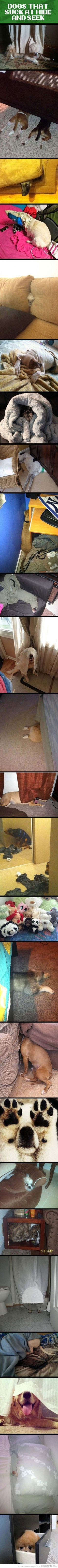 Dogs that are really bad at hide and seek.
