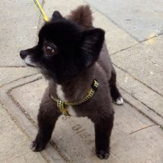 Black Pomeranian Pomeranian Haircut, Black Pomeranian, Cute Funny Animals, Funny Animal Pictures, Dog Haircuts, Yorkshire Terrier Dog, Getting A Puppy, I Love Dogs, Best Dogs