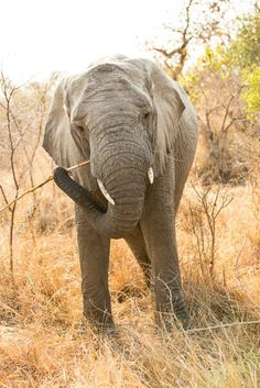 Elephant in Kruger Elephants, Animals Beautiful, Funny Animals, Piercings, Travel Photography, Wildlife, Creatures, African, Tattoo