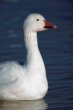 Snow Goose Portrait