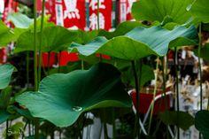 #88 L'eau de pluie qui ne s'écoule pas de ces feuilles de lotus