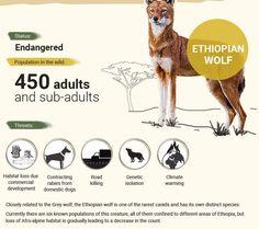 Endangered Animals In Africa, Endangered Species, Zoo Signage, Elephant Habitat, Ethiopian Wolf, Wolf Population, Animals Information, African Wild Dog, Wild Dogs